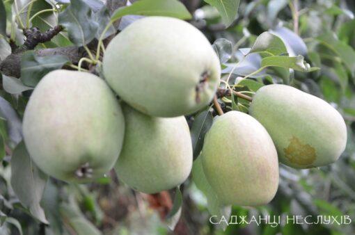 Саджанці груші, сорт супер рання